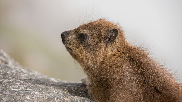 Rock Hyrax, Procavia capensis. Table Mountain, Cape Town, South Africa.