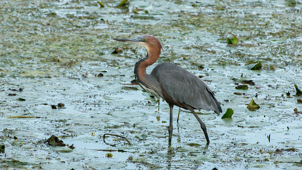Goliath Heron, Ardea goliath, Kruger NP, South Africa.