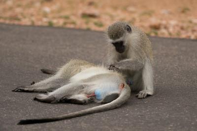 Vervet Monkey, Chlorocebus pygerythrus, Kruger NP, South Africa.