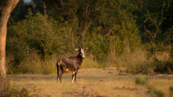 Bonte Bok, Damaliscus pygargus, Milwane Wildlife Sancturary, Swaziland.