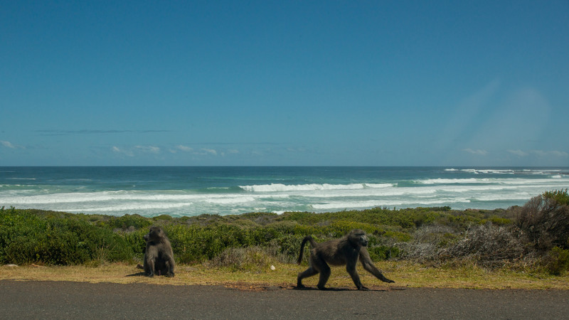 Chacma Baboon, Papio Ursinus. Cape Good Hope, South Africa.