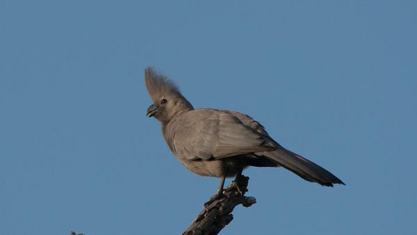 Grey Go-away-bird, Corythaixoides concolor, Kruger NP, South Africa.