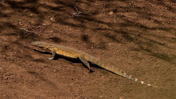 Monitor lizard, Leopard Mountain Lodge, South Africa.