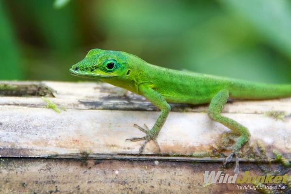 Vincentian lizard