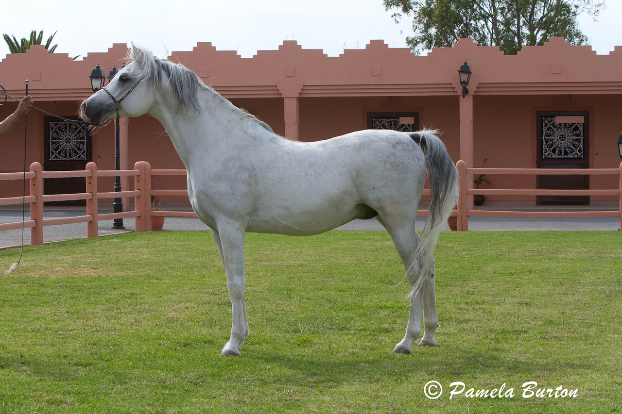 Show horse Esa Antaares at Haras National de Bouznika