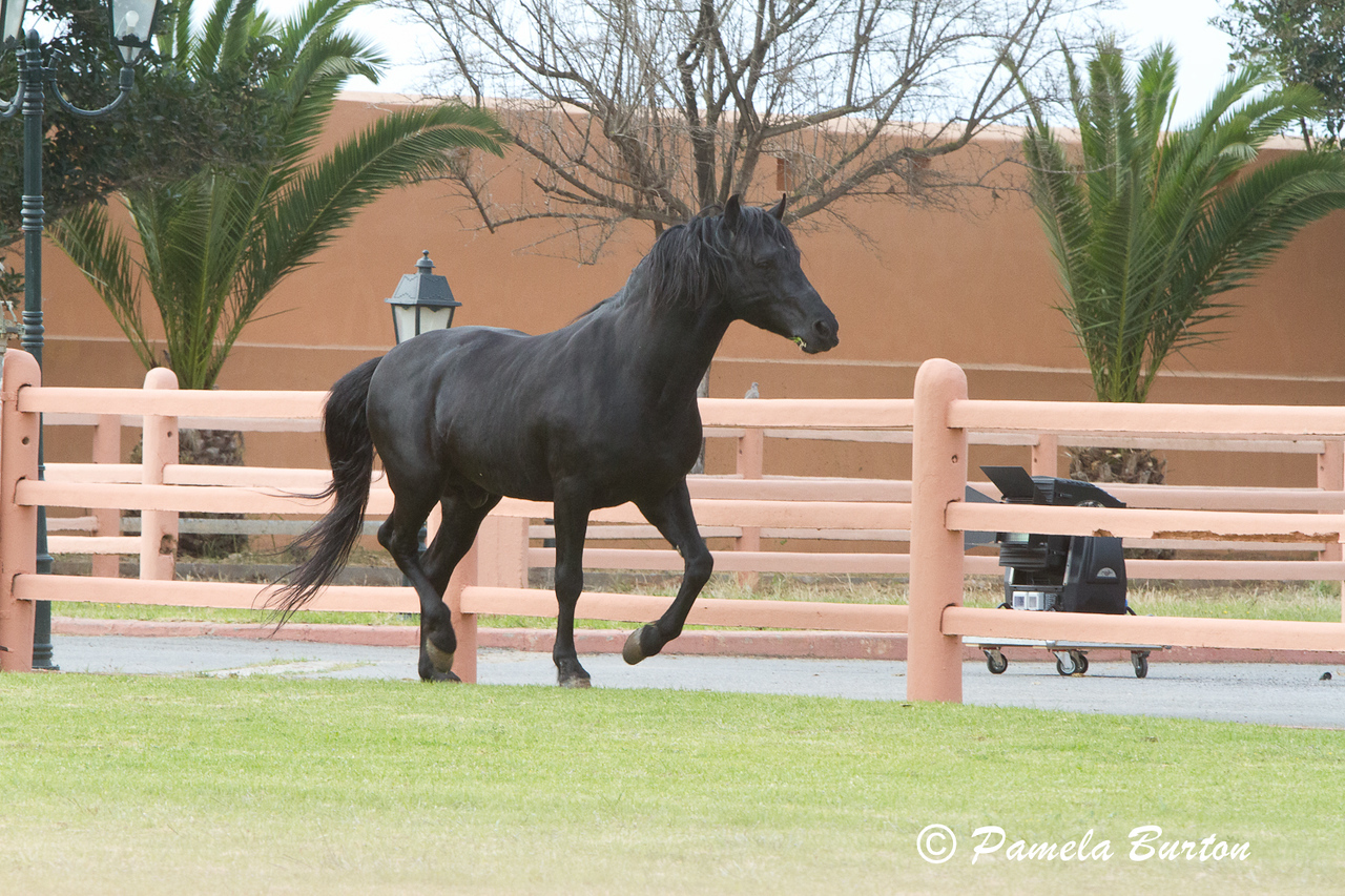 Arous, Arab/Barbe Stallion