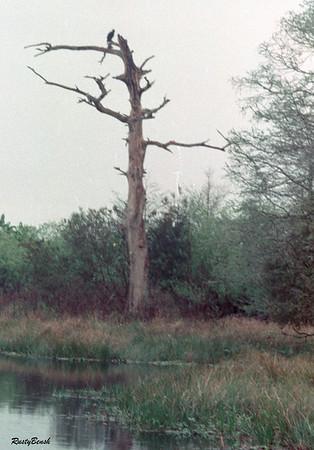 buzzard tree1987