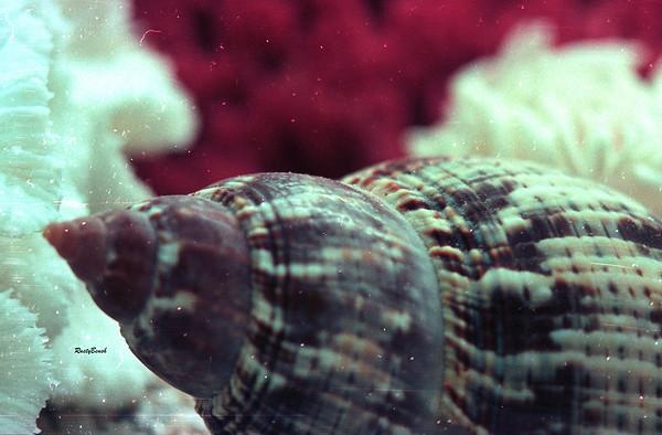 aquarium tulip shell