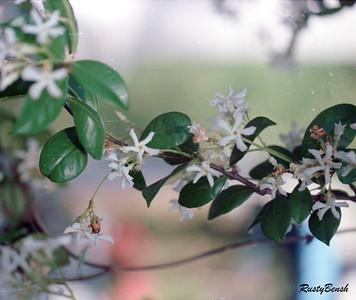 Kapot Tree Tampai1987 (2)
