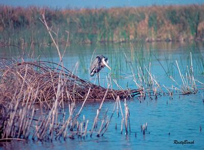 Okeechobee Heron