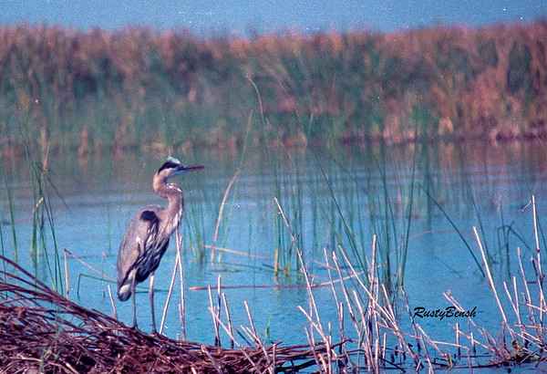 Okeechobee Heron-2