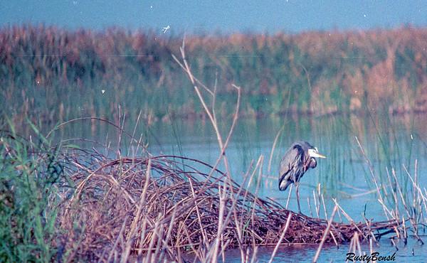 Okeechobee Heron-4