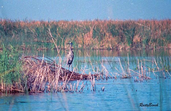 Okeechobee Heron-3