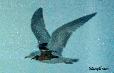 gull double exposure