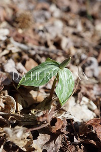 .. Trillium  in Early Spring ..