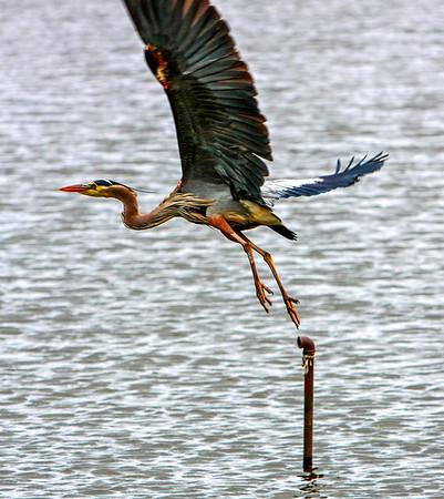 heron leaving pipe