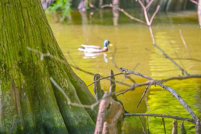 duck in backwaters-2