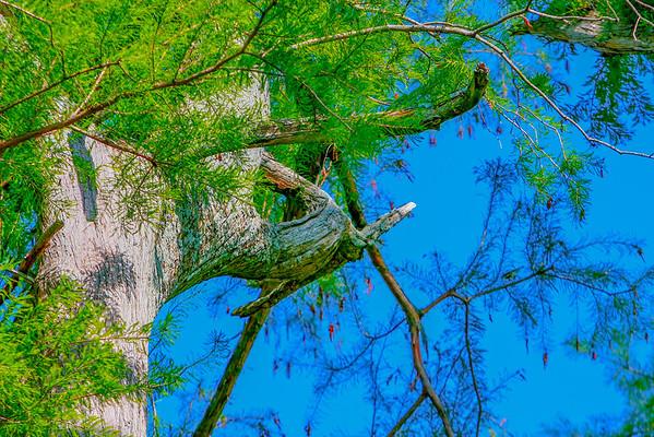 cypress-3