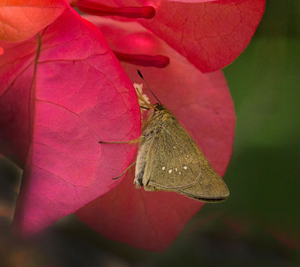 Butterflies and other invertebrates of Chiang Mai area 2014