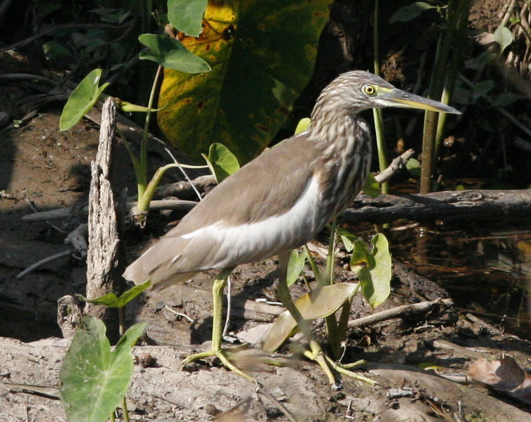 Chinese Pond Heron