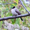 Red Whiskered Bulbul - Chiang Dao