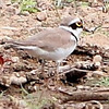 Little Ringed Plover - Chiang Dao