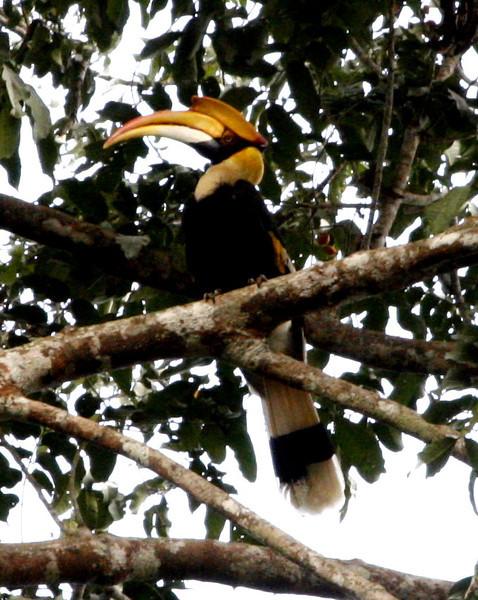 Great Hornbill - Khao Yai