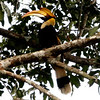 Great Hornbill - Khao Yai