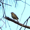 Olive-backed Tree Pipit