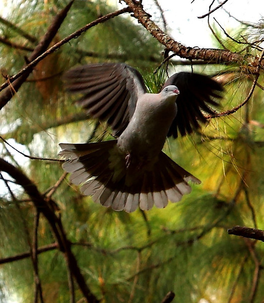 Imperial Mountain Pigeon