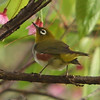 Chestnut Flanked White Eye - Chiang Dao