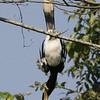 Oriental Pied Hornbill - Khao Yai