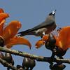 Ashy Wood Swallow - Phanom Rung
