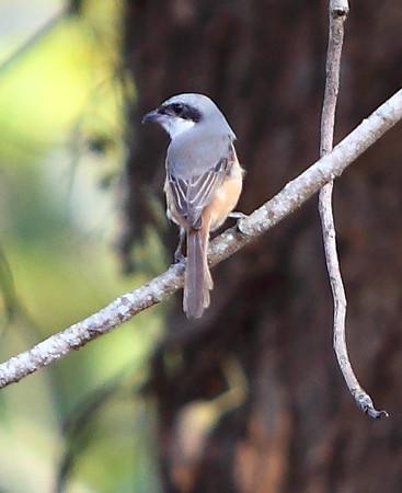 Grey-backed Shrike.