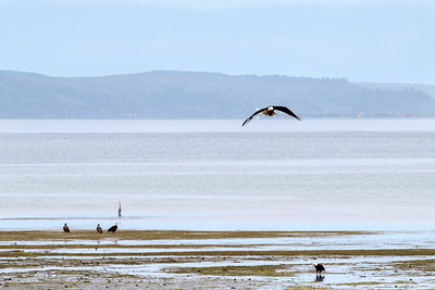 6/17  Low Tide (& Eagles!) - Seabeck, Wa