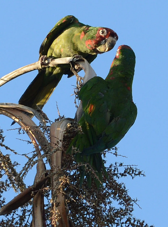 . Long Beach, Calif., -- 08-20-13-  Wild parrots in the palm trees in Belmont Shore. The parrots are called Mitred Conures and are native to South America. Salvatore Angius of Long Beach, of Californiaflocks.org, is trying to bring awareness to the Long Beach flock. Salvatore says that the birds\' eggs are stolen from their nests by poachers.     Stephen Carr/  Los Angeles Newspaper Group