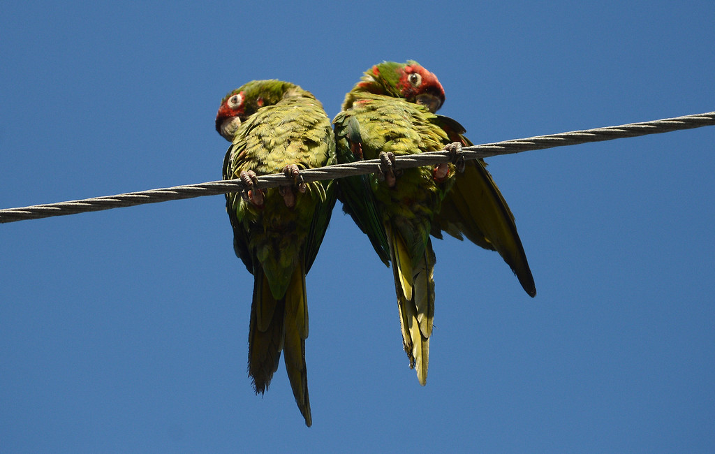 . Long Beach, Calif., -- 08-20-13-  Wild parrots in Belmont Shore. The parrots are called Mitred Conures and are native to South America. Salvatore Angius of Californiaflocks.org is trying to bring awareness to the Long Beach flock. Salvatore says the birds\' eggs are stolen from their nests by poachers.     Stephen Carr/  Los Angeles Newspaper Group