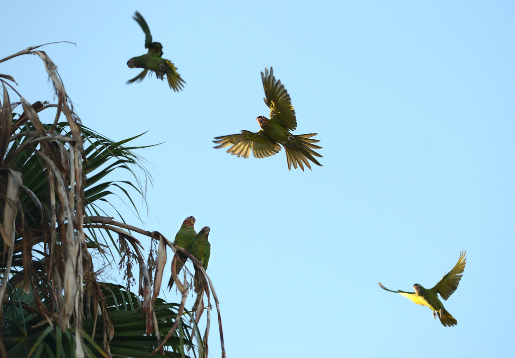. Long Beach, Calif., -- 08-20-13-  A wild parrots in the palm trees in Belmont Shore. The parrots are called Mitred Conures and are native to South America. Salvatore Angius of Long Beach, of Californiaflocks.org, is trying to bring awareness to the Long Beach flock. Salvatore says that the birds\' eggs are stolen form their nests by poachers.     Stephen Carr/  Los Angeles Newspaper Group