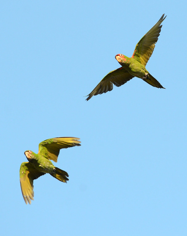 . Long Beach, Calif., -- 08-20-13- Wild parrots fly over Belmont Shore. The parrots are called Mitred Conures and are native to South America. Salvatore Angius of Californiaflocks.org is trying to bring awareness to the Long Beach flock. Salvatore says the birds\' eggs are stolen from their nests by poachers.     Stephen Carr/  Los Angeles Newspaper Group