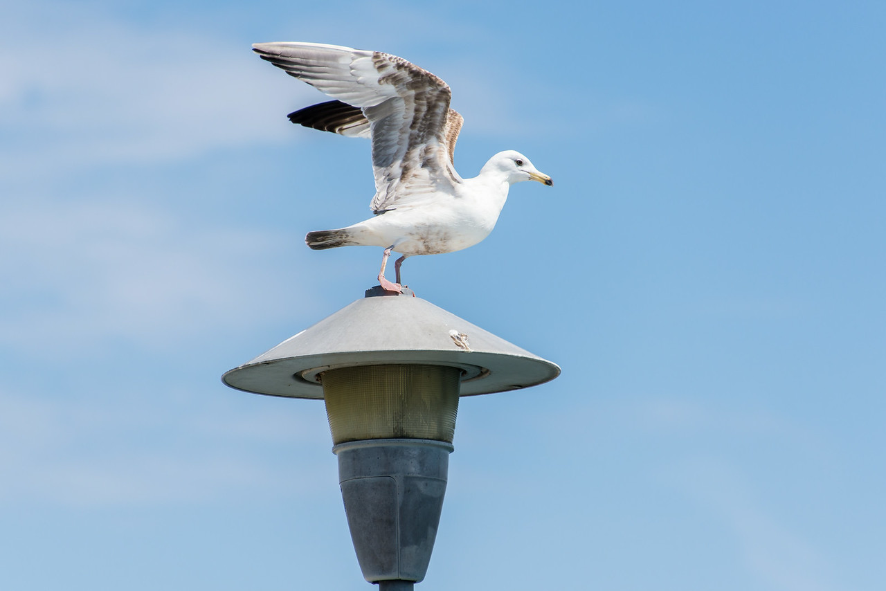 Gull on East Tawas Breakwall - April 2014