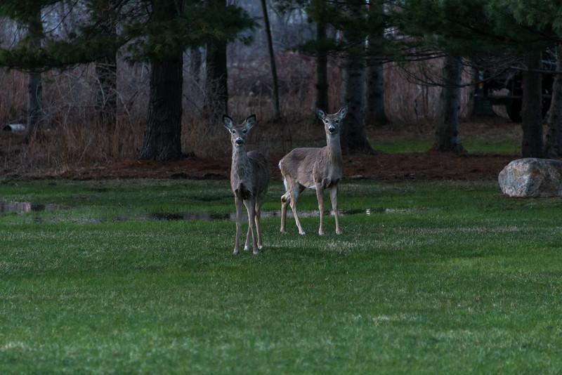 Backyard visitors - Grindstone City, MI - April 2014