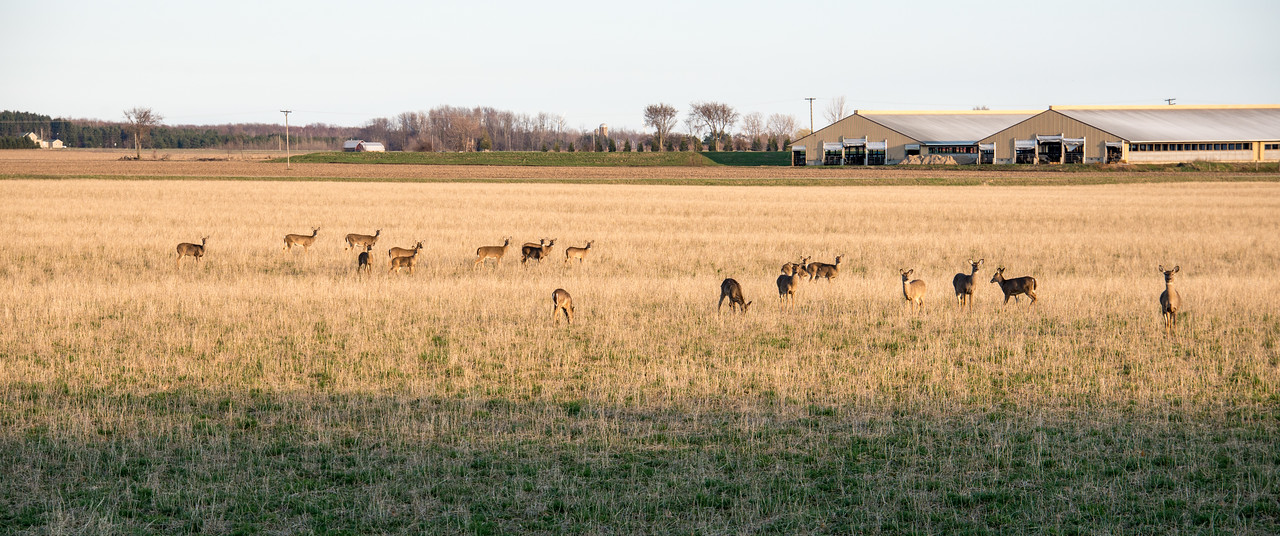 Herd of Whitetail Deer near Port Austin, MI - April 2017