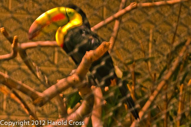 A Keel-billed Toucan taken Jun. 27, 2012 in Salt Lake City, UT.