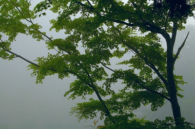 A maple in the  mist at Yoshiminedera in western Kyoto.