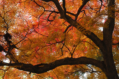 The largest maples have wonderful branch structures.