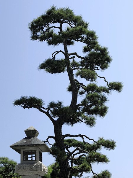 Pine at Ryukoji Temple, Kamakura, Japan