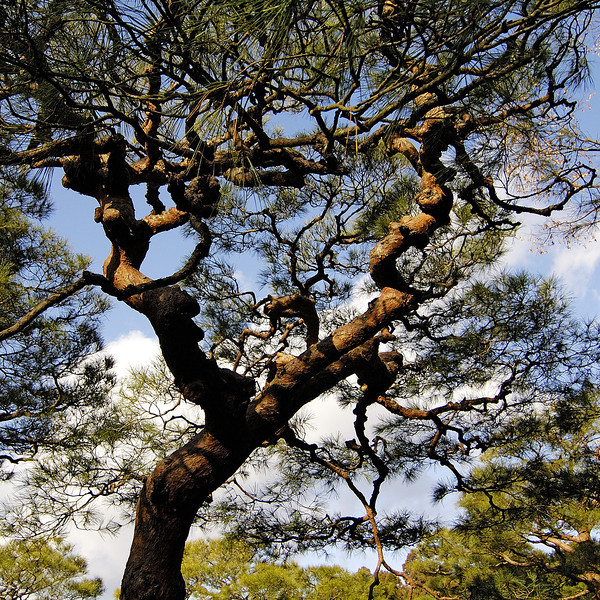 Pine tree at Ginkakuji, Kyoto.