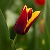 Burgundy and yellow tulip