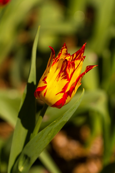 Stunning red and yellow tulip