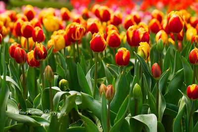 Tulip Top Gardens, Bywong